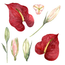Watercolor Set Of Red Anthurium And Pink Lily Buds On A White Background.