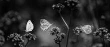 Butterflies On Flowers Close U...
