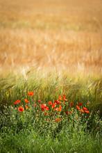 Red Poppies In Field In Verdun...