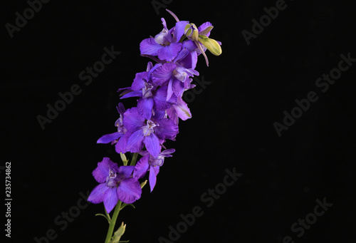 Canvas Larkspur (Delphinium staphisagria)