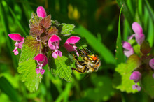 Mason Bee On Wildflowers In Meadow. Wild Bee Pollinating Flowers In Spring