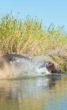Hippopotamus Entering Lower Za...