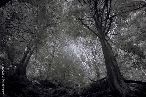 Aluminium Prints Dark grey Tall Trees In A Dark Autumn Forest, Contrast Black And White Infrared Photography