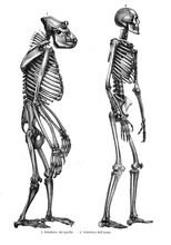 Vintage Illustration Of Anatomy, Comparison Between Human And Gorilla Skeleton