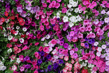 Vertical Garden Nature Backdrop, Colorful Petunia Flowering Plant Flowers And Green Leaves Wall Background.
