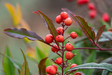 Heavenly Bamboo Fruits In Autumn