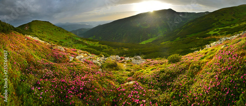 Fototapeta Landscape of summer mountains with pink rhododendron obraz