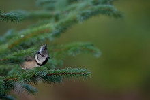 Crested Tit, Passerine Song Bi...