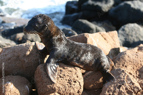 Baby seal on the rocks of North Seymour  Galapagos Islands