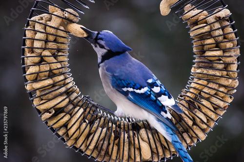 Valokuvatapetti Blue Jay