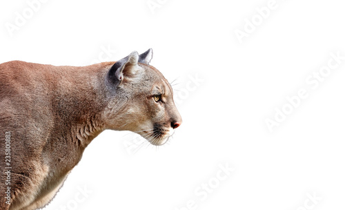 Poster Puma Portrait of Beautiful Puma. Cougar, mountain lion, isolated on white backgrounds