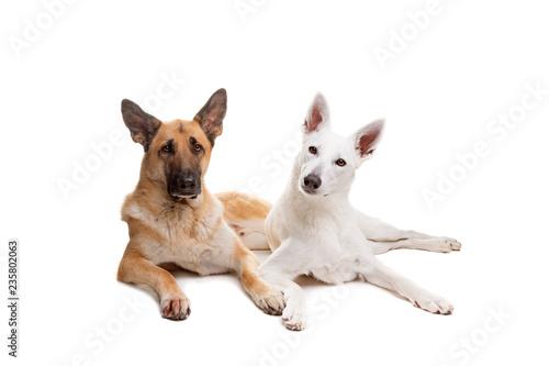 two shepherd dogs © Erik Lam