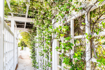 FototapetaCloseup of patio outdoor spring flower garden in backyard porch of home, romantic white wood with pergola wooden arch path, climbing covering vine plants