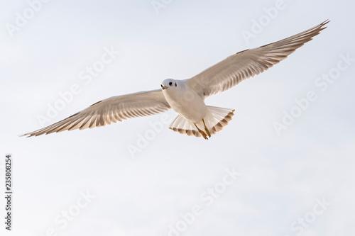 Poster de jardin Oiseau Seagull in flight with spread wings