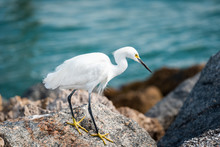 Closeup Of One Snowy Egret White Bird Walking On Rocky Pier Rocks In Florida Gulf Of Mexico In Venice Beach, Yellow And Blue Colors