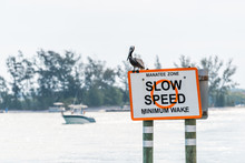 Eastern Brown Pelican In Venice, Florida On Pier Manatee Sign, Perched With Motor Boat In Background In Marina Harbor Slow Speed Limit