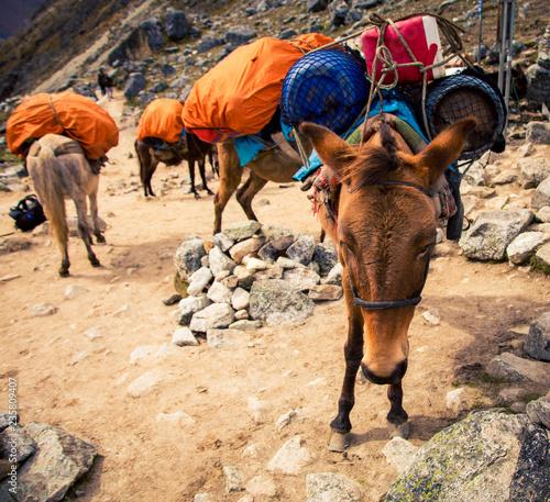 Fotobehang Zuid-Amerika land packing horses in Peru