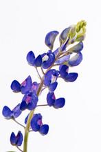 Isolated Bluebonnet Flower
