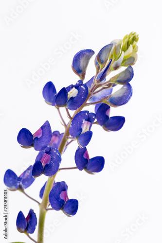 Isolated Bluebonnet Flower Canvas Print