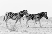 Zebra Walking In Field
