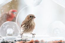 Two, Pair, Couple, Female, Red Male House Finch Landing, Flying In Background, Male Birds Sitting Perched On Glass Window Bird Feeder Perch With Sunflower Seeds, Peanuts In Snow, Snowing, Virginia