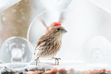 Two, Pair, Couple, Female, Red Male House Finch Landing, Flying Behind In Background, Male Birds Perched On Glass Window Bird Feeder Perch With Sunflower Seeds, Peanuts In Snow, Snowing, Virginia