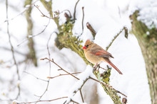 Closeup Of One Fluffed, Puffed Up Orange, Red Female Cardinal Bird Side, Perched On Sakura, Cherry Tree Branch, Covered In Falling Snow With Buds During Heavy Snowing, Snowstorm, Storm, Virginia