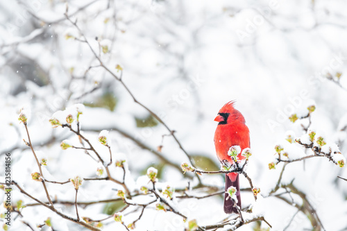 Photo Closeup of fluffed, puffed up red male cardinal bird, looking, perched on sakura