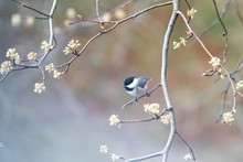 Closeup Of One Chickadee Bird Perched On Tree Branch In Sunny Colorful Spring, Springtime In Virginia, Sakura, Cherry Blossom Flowers, Buds
