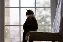 Behind Calico Cat Back Sitting On Chair Inside, Indoor, Indoors, In House, Home Room Bird Watching, Looking Out, Through Window Outside, Outdoors, Hunting