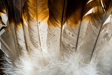 Native American Indian Feathers In Brown And White.