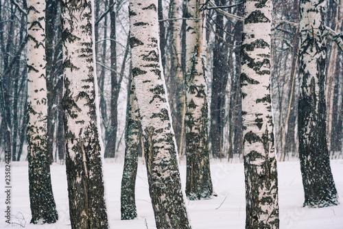 Brzoza las przy zima dniem