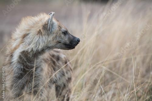 Poster Hyène Hyena in the bush