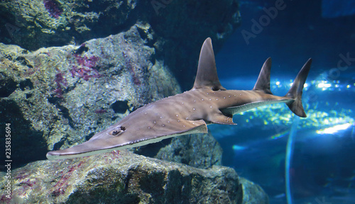 Giant guitarfish (Rhynchobatus djiddensis) in aquarium.