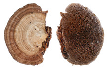 Top And Bottom Views Of Colonies Of Common European Forest Tree Mushroom Fungi. Isolated
