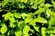 Cherry Laurel, Detail, Lush Green Leaves In Summer