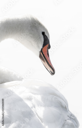 Fotografía  Mute Swan portret