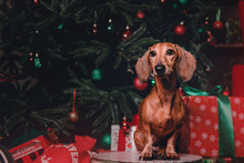 Red Dachshund Dog In Christmas Decorations With Gift Box
