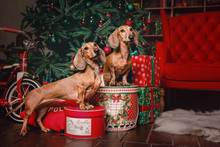 Two Red Dachshund Dogs In Christmas Decorations With Gift Box