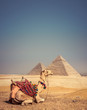Camel with the Pyramids of Gizeh, Egypt
