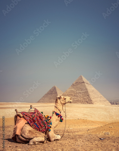 Foto op Plexiglas Historisch geb. Camel with the Pyramids of Gizeh, Egypt