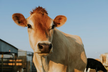 Rescued Aubrac Cow, The Sanctuary At Soledad