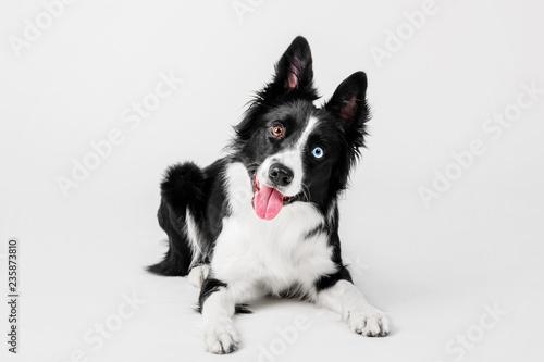 Border collie dog on white background Wallpaper Mural