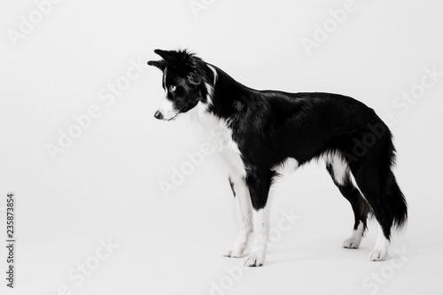 Fototapeta Border collie dog on white background