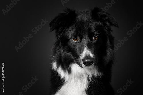 Carta da parati Black Border Collie dog breed on a black background in the studio