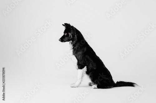 Border Collie dog on white background Fototapet