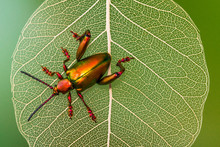Close Up Of Metallic Shield Bug On Leaf