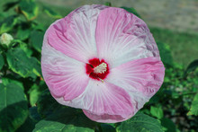 Pink And White Hardy Hibiscus(...