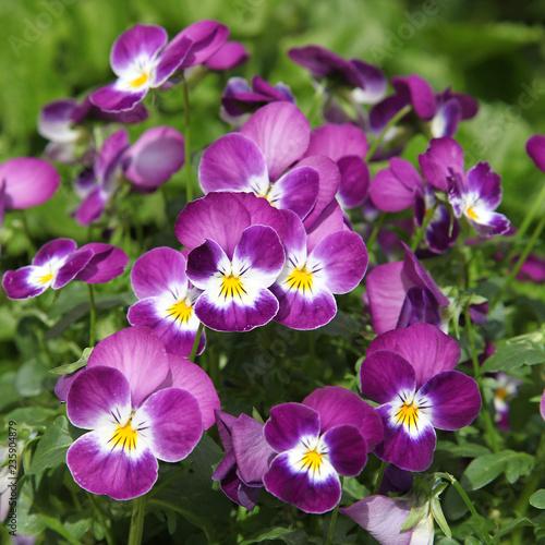 Papiers peints Pansies Viola cornuta