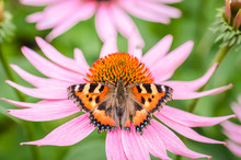 Butterfly Pollinates Echinacea...